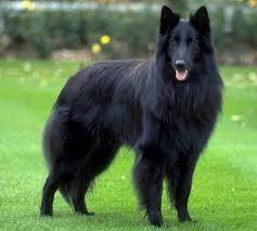 belgian shepherd quebec pastor alsaciano negro buscar con google el perro pinterest