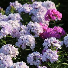 plant perennials in fall for a bigger spring and summer garden