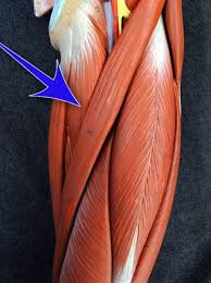 Human Anatomy Flashcards Selected Human Muscles With Their Functions Images Flashcards