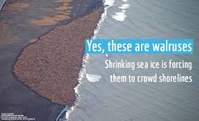 Walrus Meme - what climate change looks like for walruses climate and energy blog