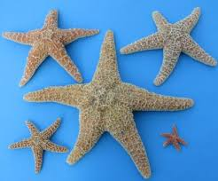 bulk sugar starfish atlantic starfish wholesale