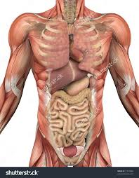 Human Anatomy Male Inner Body Parts Of Male Male Reproductive Body Parts Human