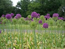 alium after they finish blooming you can spray paint the