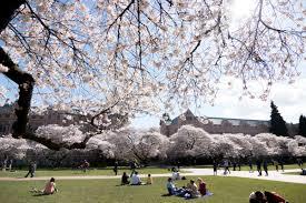 uw cherry blossoms uwcherryblossom twitter