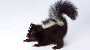 on the very smelly trail of the skunk takeover outside online