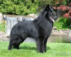 what is a belgian sheepdog belgian sheepdog champion seattle kennel club
