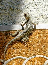 if nature could talk love among lizards u2013 redlands daily facts