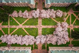 bird s eye view photographing cherry blossoms with the dji phantom