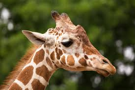does every giraffe have their own pattern of spots animals mom me