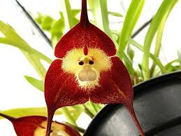 orchid flower 2018 monkey seeds monkey orchid flower seeds plant seed