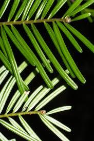 douglas maple acer glabrum pacific northwest native tree grand fir abies grandis abeto de vancouver firs abies trees