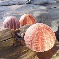where to buy sand dollars 280 best sea urchins sand dollars images on sea
