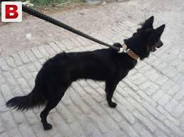 belgian shepherd for sale in islamabad pictures of a real jet black beauty pure show quality belgian
