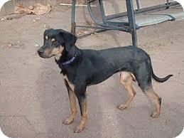 american eskimo dog for sale in kansas lilly adopted dog wichita ks doberman pinscher labrador