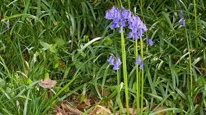 native irish plants hyacinthoides non scripta l chouard ex rothm plants of the