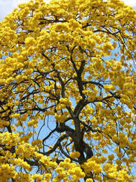 Yellow Flowering Trees - barely hanging on the last yellow flower a little claireification