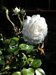 climbing roses gardening forum gardenersworld com