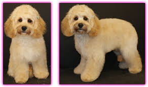 haircutsfordogs poodlemix la pooch dog grooming designer dogs mixed breeds