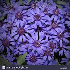 felicia daisies blue heterophylla flower flowers photo