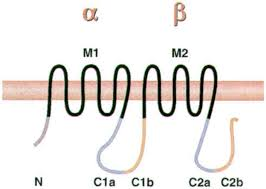 the adenylyl cyclases as integrators of transmembrane signal