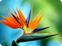 birds of paradise flower floralife bird of paradise