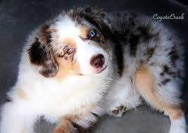 australian shepherd kansas miniature american shepherd mini aussie puppies for sale at