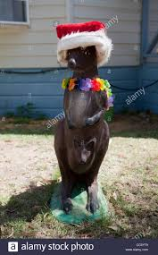 Australian Christmas A Funny Australian Kangaroo Statue Dressed Up In A Santa Hat And A