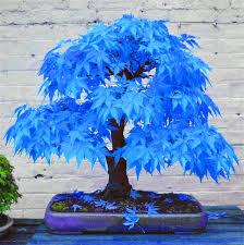 50 bonsai blue maple tree seeds bonsai tree seeds sky blue
