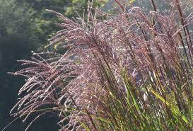 pictures of flowers ornamental grass