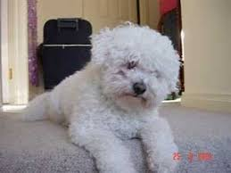 bichon frise breed standard bichon frise breed information and photos thriftyfun