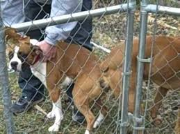 boxer dog breeders near me breeding my boxer dog laila and lucas youtube