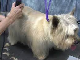 cairn hair cuts cairn terrier grooming at www onlinegroomingschool com youtube