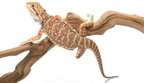 bearded dragon care essentials raising bearded dragons ultimate