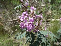australis plants australian native plants indigofera australis u2013 australian indigo gardening with angus