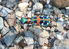 tiger beetle animal crossing wiki fandom powered by wikia