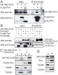 Anti Flag Antibody Fis1 Acts As A Mitochondrial Recruitment Factor For Tbc1d15 That