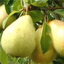 Patio Fruit Trees Uk by Family Fruit Trees Ornamental Trees