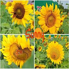 40 mini sunflower seeds sunflower seeds sunflower series