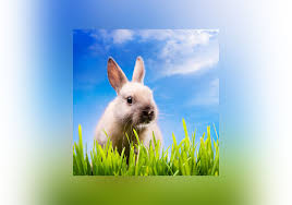 rabbit bunny what s the difference between a bunny a rabbit and a hare