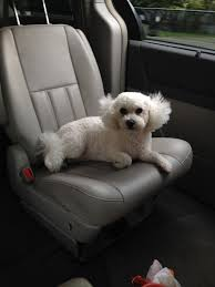 bichon frise 6 years old why does my bichon frise chew her paws raw u2013 iheartdogs com