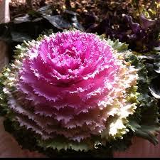 58 best ornamental cabbage images on ornamental