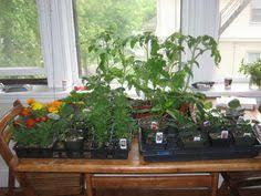 Indoor Vegetable Container Gardening - indoor vegetable gardening gardening pinterest indoor