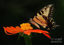 tiger swallowtail butterfly landing photograph by bradley