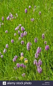 Monkey Orchids Monkey Orchids Orchis Simia France Extremely Rare In Britain