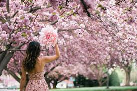 cherry blossom pics cherry blossoms dc 2018 insider s guide everything you need to know