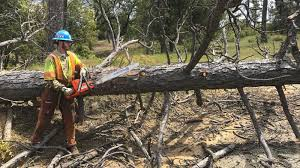 tree mortality california conservation corps