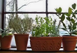 herbs indoors tilia botanicals overwintering your herbs indoors