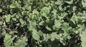 perennial kales learn how to garden