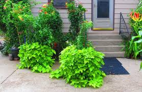 photo of the entire plant of ornamental sweet potato ipomoea