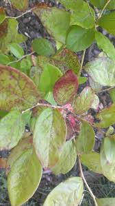 blueberry leaves turning red in the summer